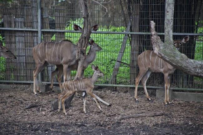 """เชียงใหม่ไนท์ซาฟารี ต้อนรับสมาชิกใหม่ """"ลูกกูดูใหญ่"""" สัตว์แห่งแอฟริกา (ชมคลิป)"""
