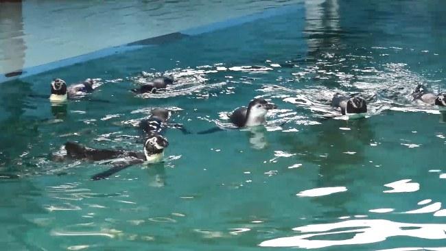 สีสัน..สวนสัตว์สงขลา เปิดตัวสมาชิกใหม่ลูกนกเพนกวินน้อย วัย 5 เดือน สายพันธุ์ฮัมโบลด์ และกำลังฟักไข่อีก 2 ตัว ขณะนี้ฟักออกจากไข่แล้ว 1 ตัวและกำลังฟักอีก 1 ตัวคาดว่าจะฟักออกจากไข่ในอีก 1- 2 วันนี้