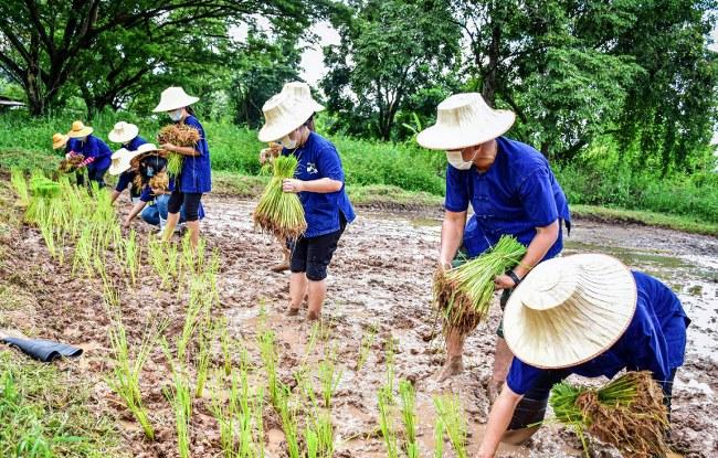 """""""เอามื้อสามัคคี """" ร่วมกันลงแขกดำนา อนุรักษ์และสืบสาน วัฒนธรรมดั้งเดิมของเกษตรกรชาวไทย"""